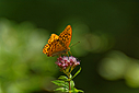 Orange butterfly on purple flower by johndapps in Member Albums