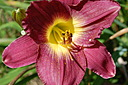 Purple Day Lily. by dccradio in Member Albums