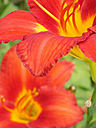 Day Lily Pair. by dccradio in Member Albums