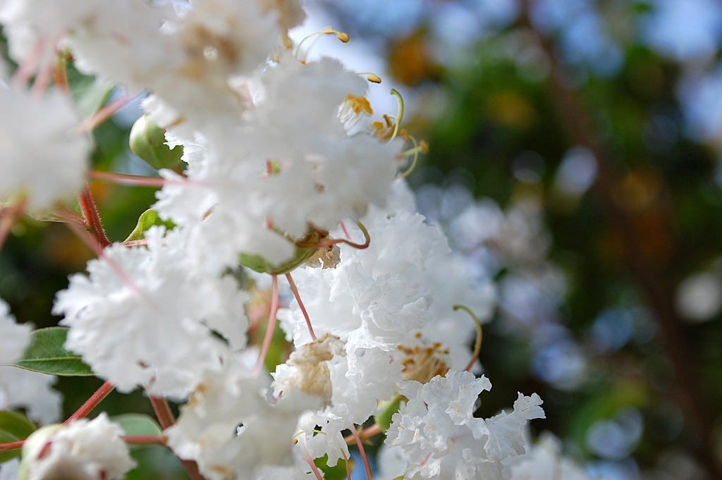 Flowering Tree Blossom. by dccradio in Member Albums