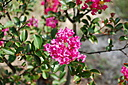 Crape Myrtle Blossom. by dccradio in Member Albums