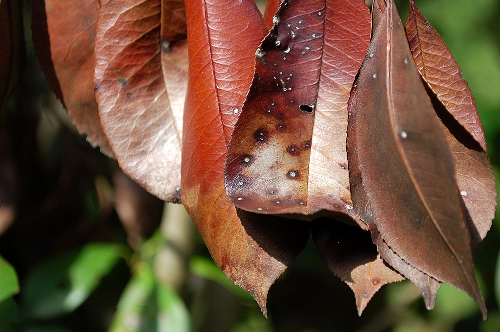 Brown Leaves. by dccradio in Member Albums
