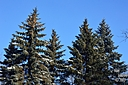 Winter trees by Yan Lauzon in Member Albums