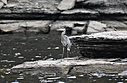 Blue Heron by Robin W in Member Albums