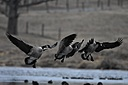 Canada geese by Robin W in Member Albums