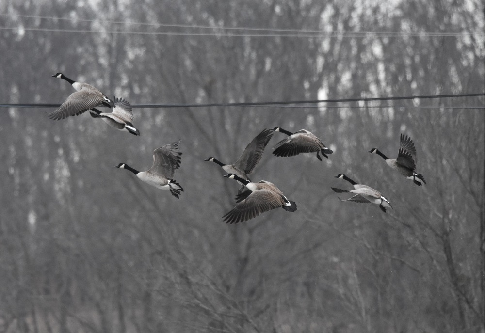 Ducks and Geese by Robin W in Member Albums