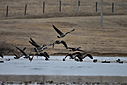 Canada geese by Robin W