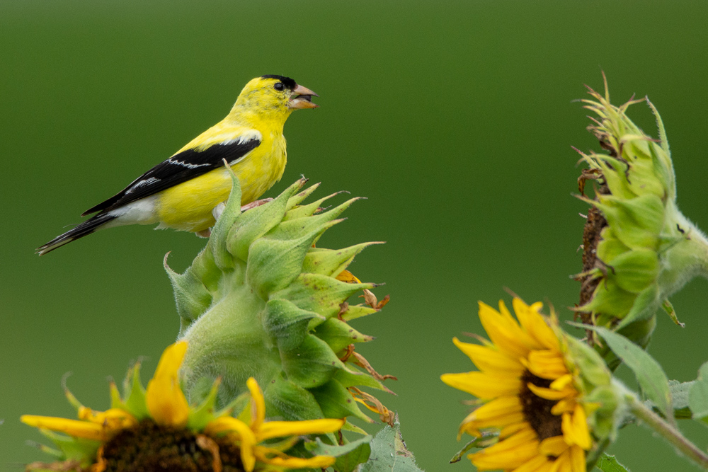 gold finch by Robin W in Member Albums