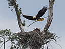 Bald Eagle by Robin W in Member Albums