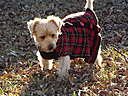 Buddy the Yorkie by fullmetalsleeve in Member Albums