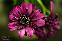 African Daisy by 99thRevolution in Member Albums