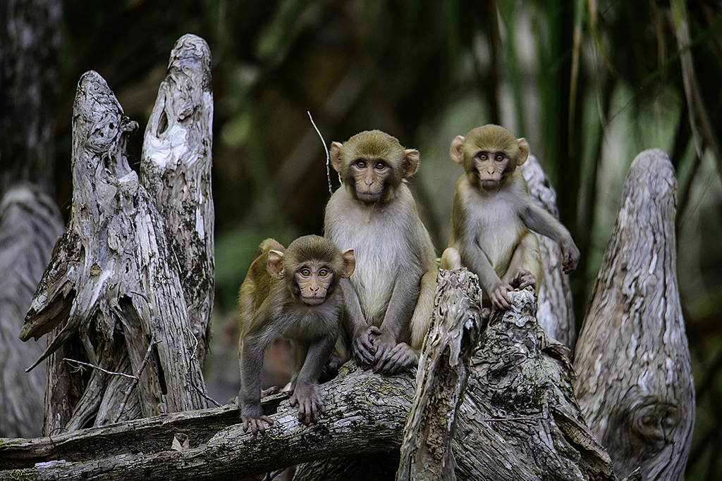 Monkeys of Silver River by floridafan in Weekly Photo Challenges