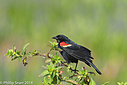 Red Shouldered Black Bird by Phil s. in Member Albums