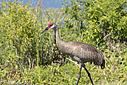 Sand Hill Crane by Phil s. in Member Albums