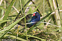 Purple Gallinule by Phil s. in Member Albums