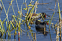 common Gallinules by Phil s. in Member Albums