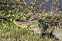 American Alligator by Phil s.