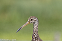 Limpkin by Phil s. in Member Albums