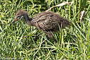 Limpkin Juvenile by Phil s. in Member Albums