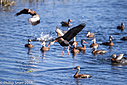 Black Bellied Whistling Ducks by Phil s. in Member Albums