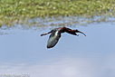 Glossy Ibis by Phil s. in Member Albums