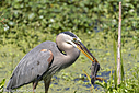 Great Blue Heron by Phil s. in Member Albums