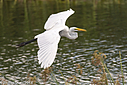 Egret by Phil s. in Member Albums