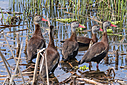 Black Bellied Whistling Duck by Phil s. in Member Albums