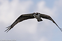 Osprey by Phil s. in Member Albums