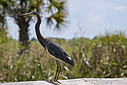 Tri-colored Heron by Phil s. in Member Albums
