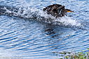 Double Crested Cormorant by Phil s. in Member Albums