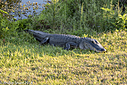 American Alligator by Phil s. in Member Albums