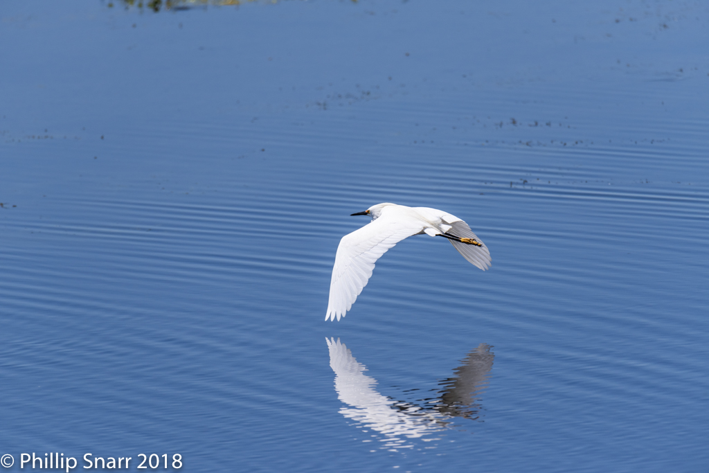 Snowy Egret by Phil s. in Member Albums