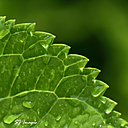 Hydrangea After the Rain by Sue S in Member Albums
