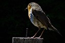 Another Robin Visiting by BlueThumb in Member Albums