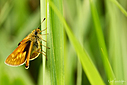 Skipper Butterfly by Neilsie88 in Weekly Photo Challenges