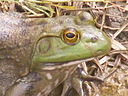 Ribbit by Marturo in Member Albums