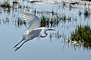 great white egret 2 by KGfoto in Member Albums