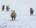 Curious Sheep by Peter7100 in Member Albums