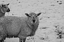 b w sheep by Peter7100 in Member Albums