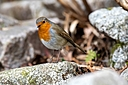 d500 robin2 by Peter7100 in Member Albums