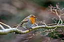 resting robin by Peter7100 in Member Albums