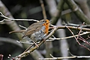 robin by Peter7100 in Member Albums