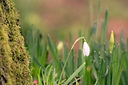snowdrop2 by Peter7100 in Member Albums
