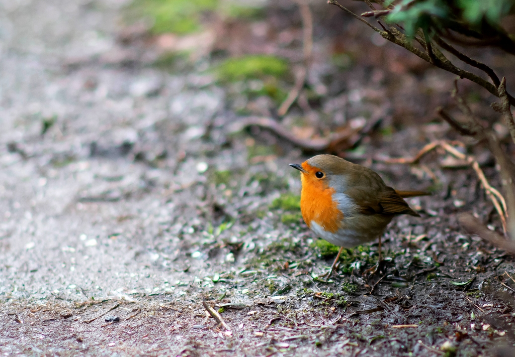 winter robin3 by Peter7100 in Member Albums