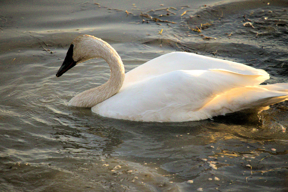 Trumpeter Swan by BeegRhob in BeegRhob's Stuff