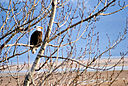 Bald Eagle by BeegRhob in BeegRhob's Stuff