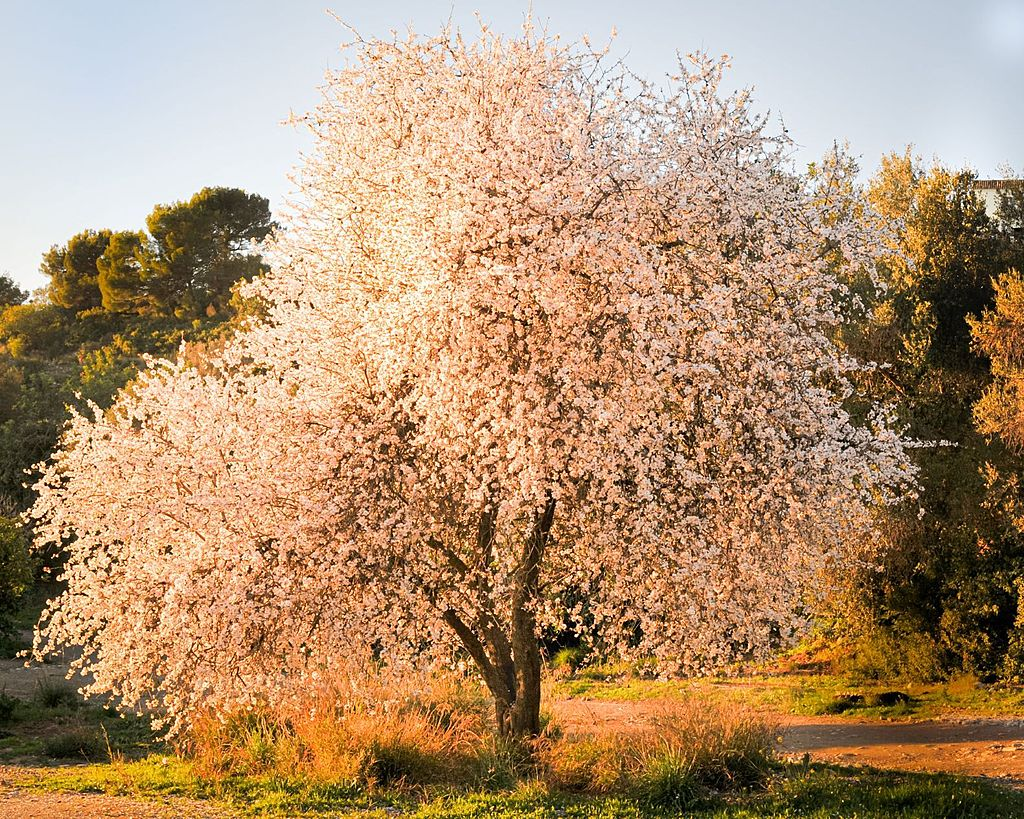 Almond blossoms by MrsRobs in Member Albums
