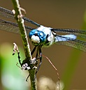 Blue Dragonfly by Deirdre in Member Albums