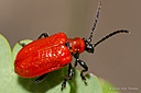 Lily Leaf Beetle by nickt in Member Albums